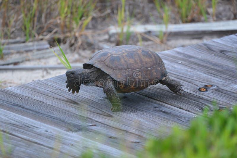 Asksköldpaddan gör dess rede under strandpromenaden längs sanddyerna som gränsar den Florida strandframdelen royaltyfri foto