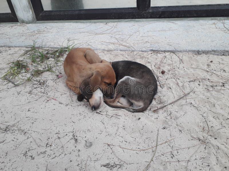 Asleep puppies on the beach in Mauritius island royalty free stock photos