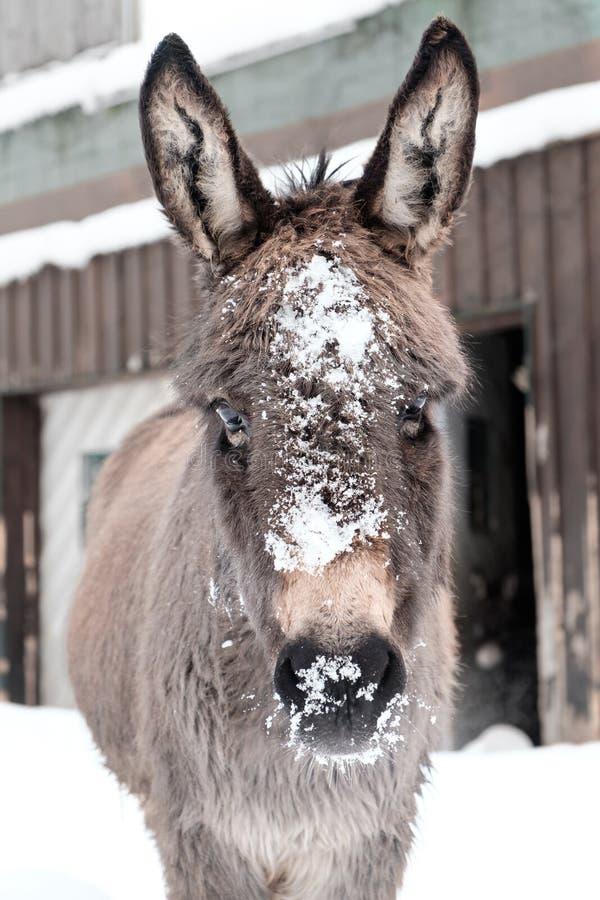 Asno coberto com a neve com fundo branco fotos de stock royalty free