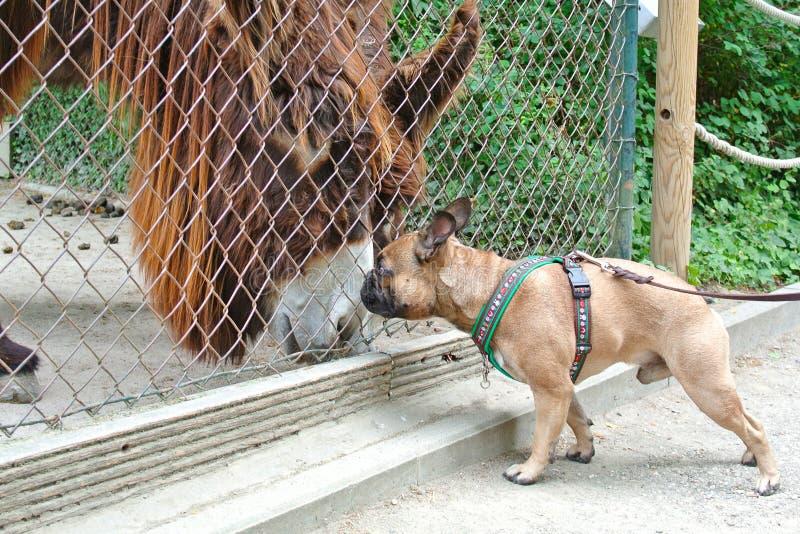 Asno da reunião do cão do buldogue francês através da cerca em um jardim zoológico imagens de stock