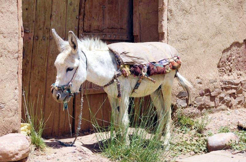 Asno e transporte em Marrocos, África imagem de stock