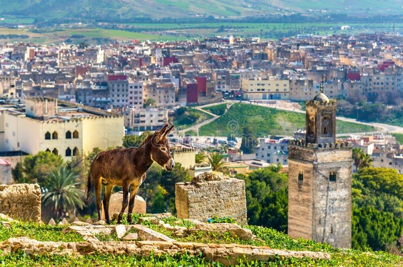 Asno nas paredes da cidade de Fes, Marrocos imagem de stock royalty free