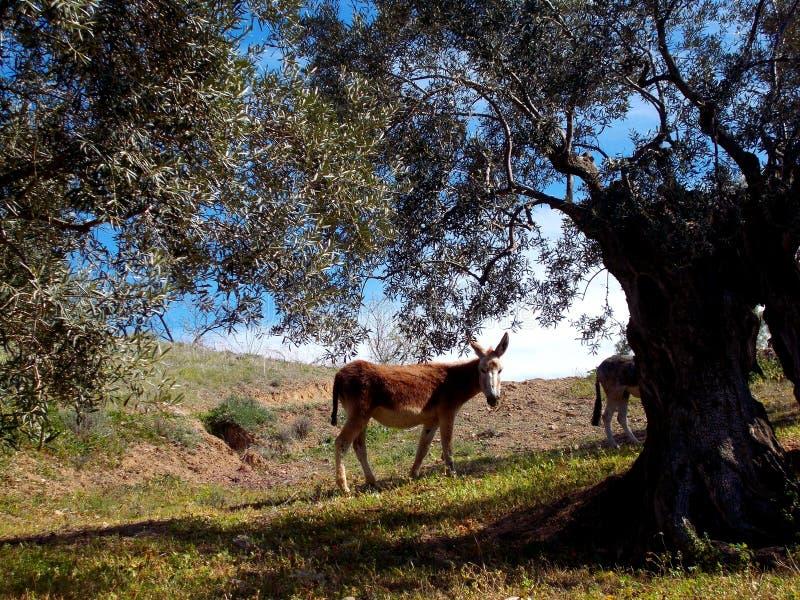 Asno no bosque verde-oliva sob a árvore na Espanha imagens de stock