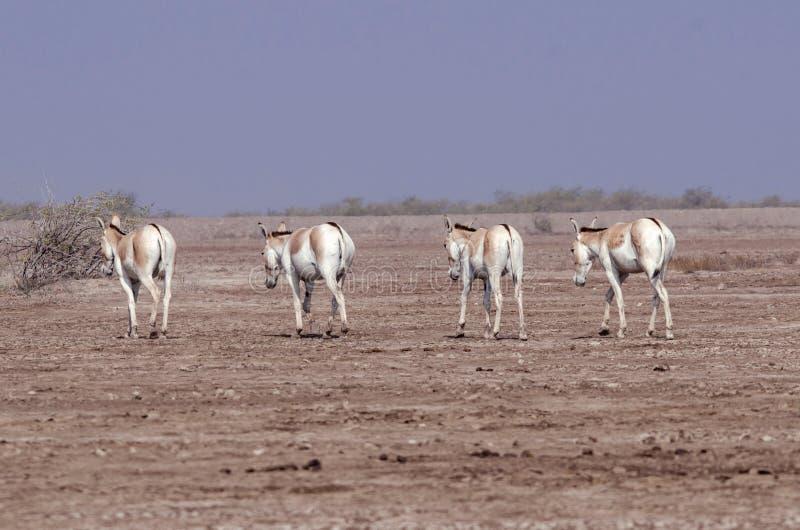 Asno salvaje indio LRK Gujarat foto de archivo libre de regalías