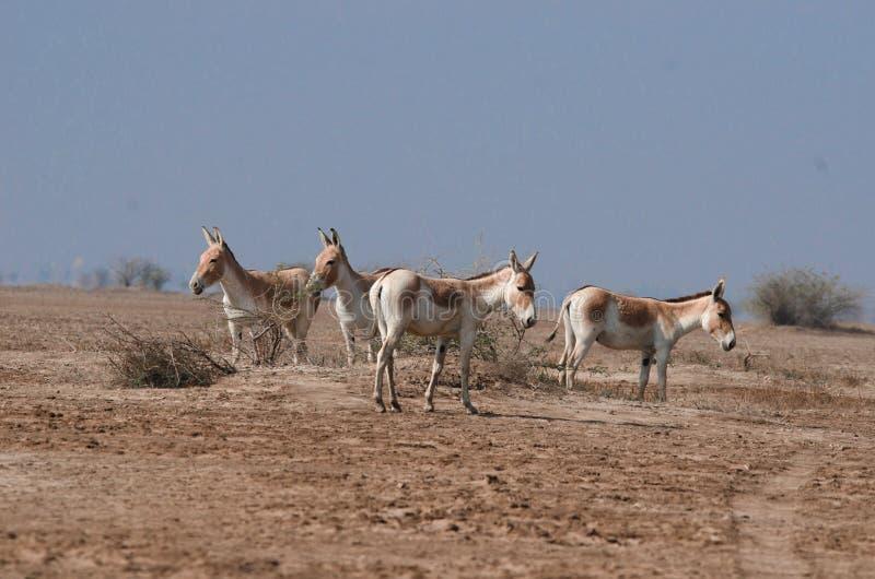 Asno salvaje indio LRK Gujarat fotos de archivo