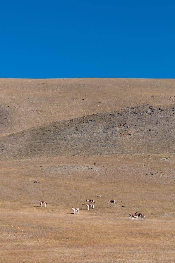 Asno tibetano selvagem fotos de stock royalty free