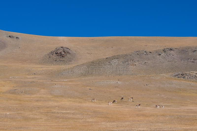 Asno tibetano selvagem foto de stock