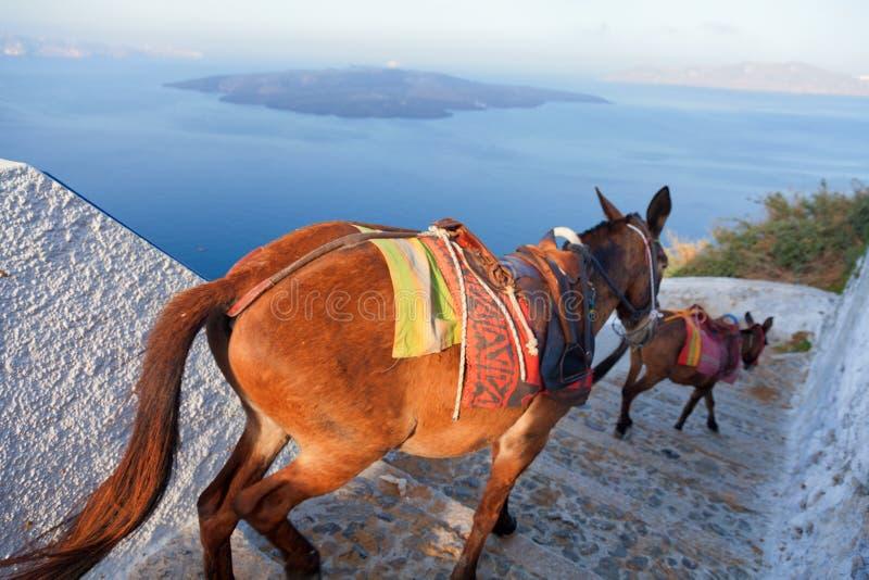 Asnos em Santorini imagens de stock