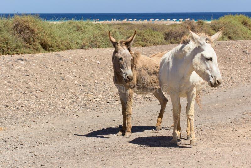 Asnos perto da praia em Morro Jable, Ilhas Canárias de Fuerteventura imagem de stock royalty free