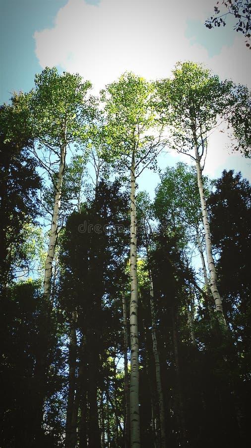 asoka стоковая фотография rf