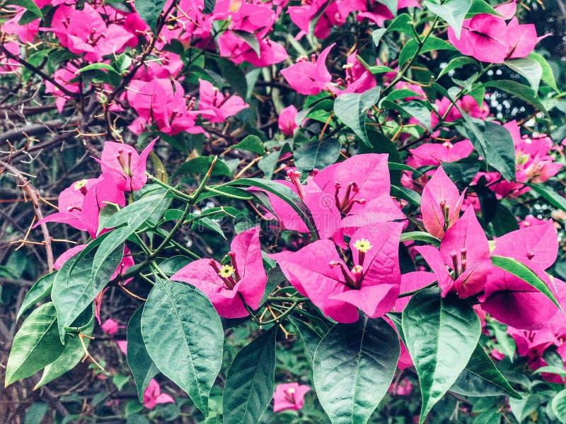 Asoka Bunga стоковые изображения