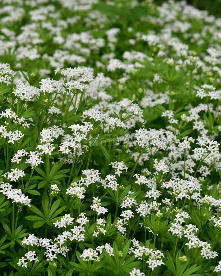Aspérula - hierbas de curación - odoratum del galio imagen de archivo