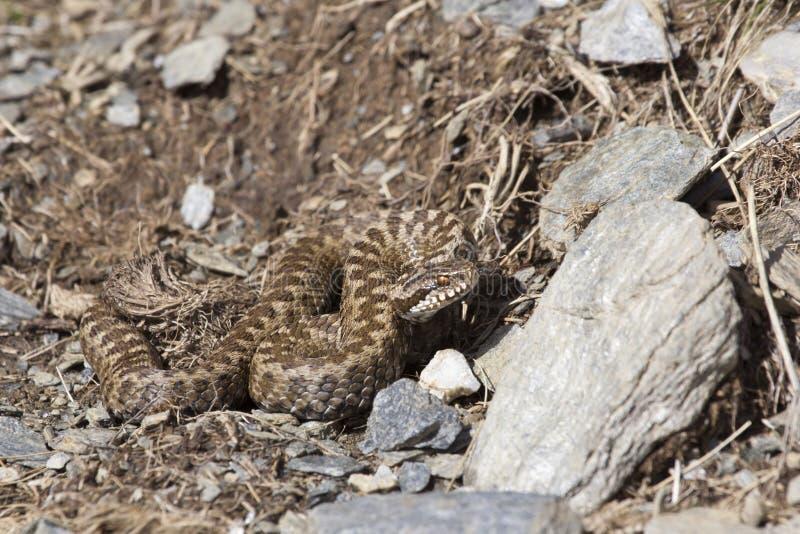 Asp蛇蝎在它的自然环境里 库存图片
