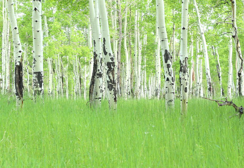 asp- colorado trees arkivbild