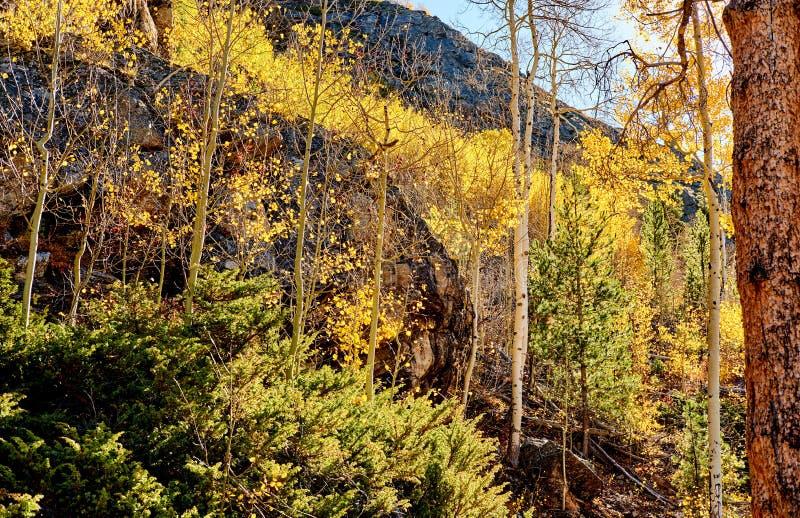 Asp- dunge på hösten i Rocky Mountains fotografering för bildbyråer