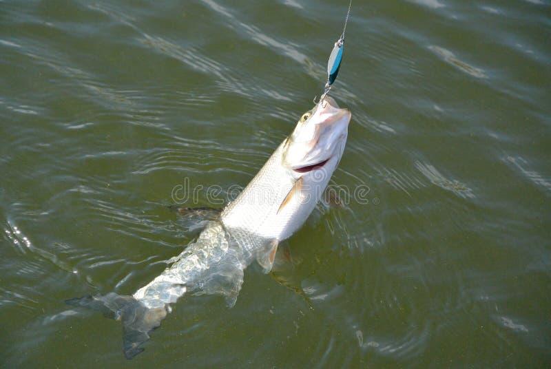 Asp-Fische stockfoto