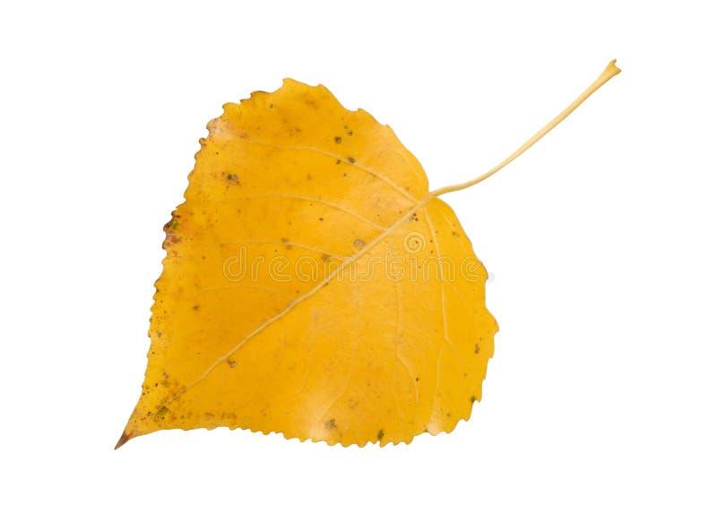 asp- leaf royaltyfri bild