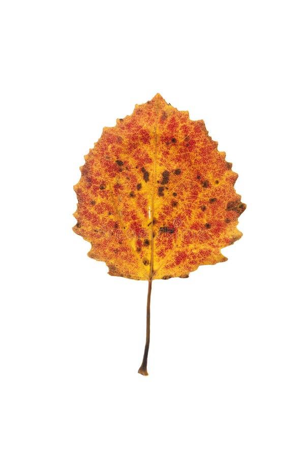 asp- leaftree arkivbild