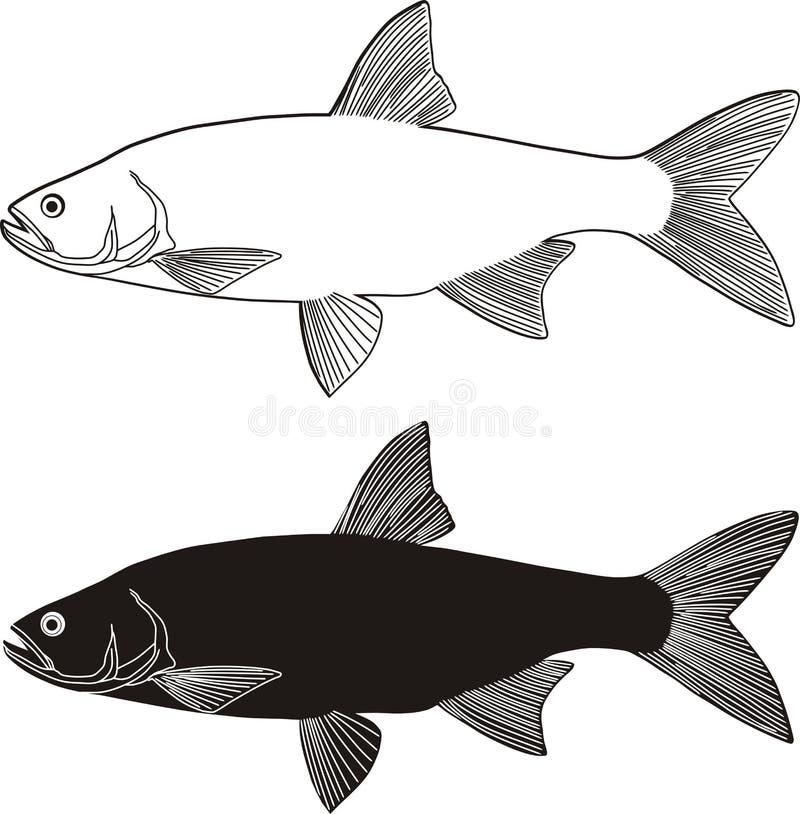 Asp Predatory Freshwater Fish Royalty Free Stock Images