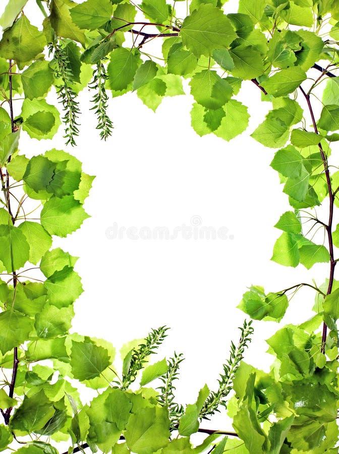 asp ramy zieleni leafage obrazy royalty free