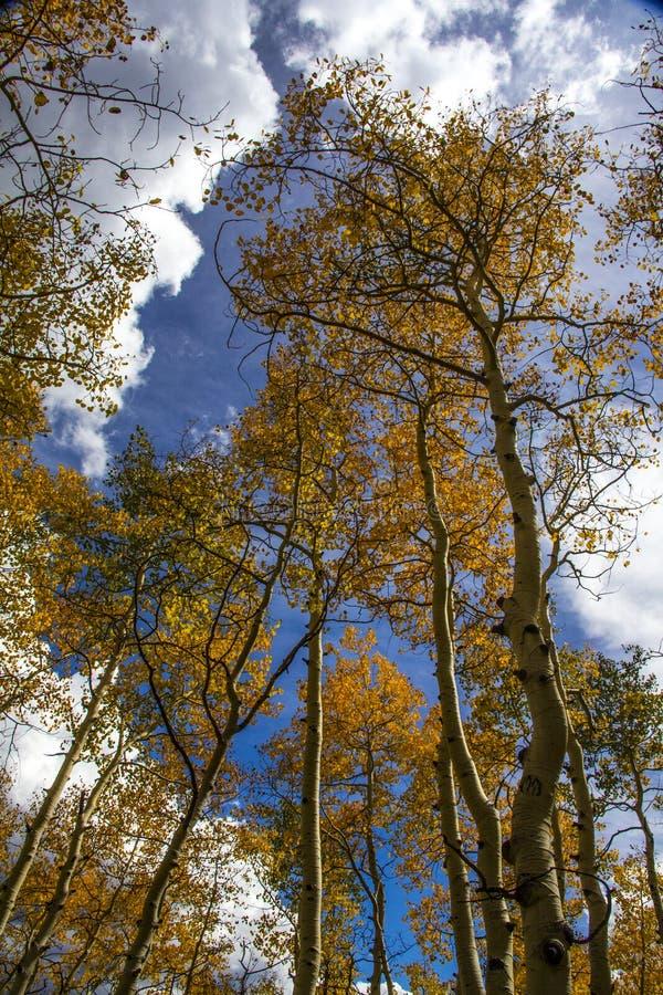 Asp som når till himlen i Wyoming arkivfoton