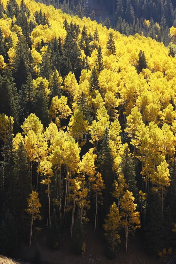 Asp- träd med nedgången färgar, San Juan National Forest, Colorado royaltyfri foto