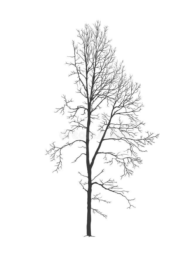 Asp- trädkontur utan lövverk vektor illustrationer