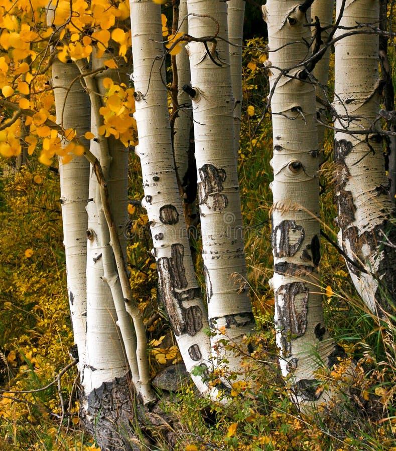 asp- trees royaltyfri foto