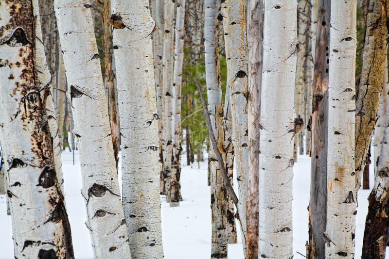 asp- trees fotografering för bildbyråer
