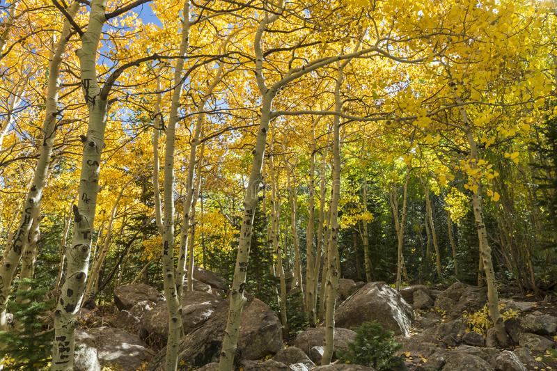 Aspar och stenblock i Rocky Mountain National Park arkivbilder