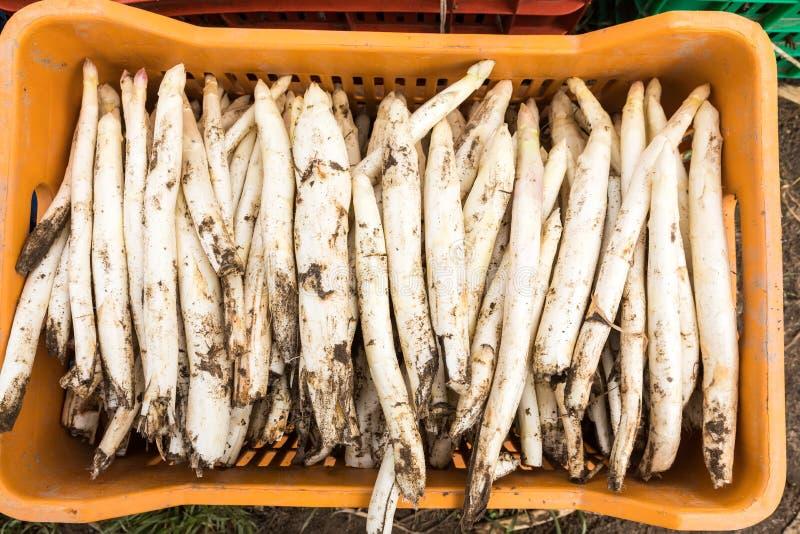 asparago bianco del raccolto dal campo fotografie stock