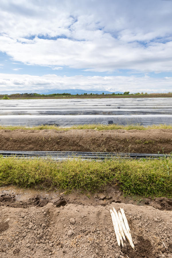asparago bianco del raccolto dal campo fotografia stock libera da diritti
