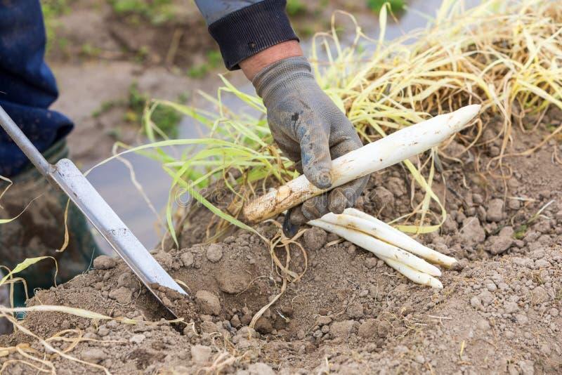 asparago bianco del raccolto dal campo fotografia stock