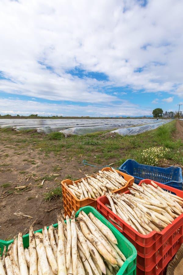 asparago bianco del raccolto dal campo immagine stock libera da diritti