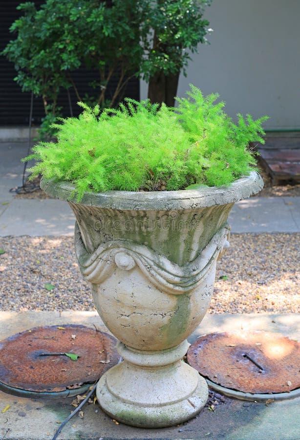 Asparagus fern Asparagus aethiopicus cv. `Myriocladus` in big cement pot at the garden.  royalty free stock photo