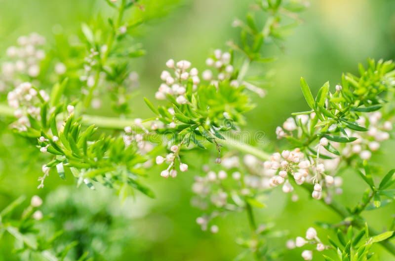Asparagus fern flower. Close up of Asparagus fern flower in garden royalty free stock photo