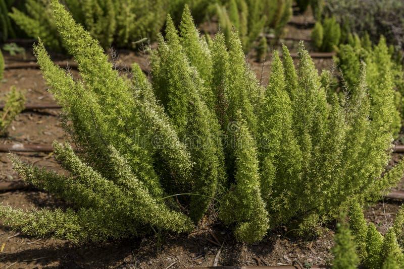 Asparagus fern on ground stock photos