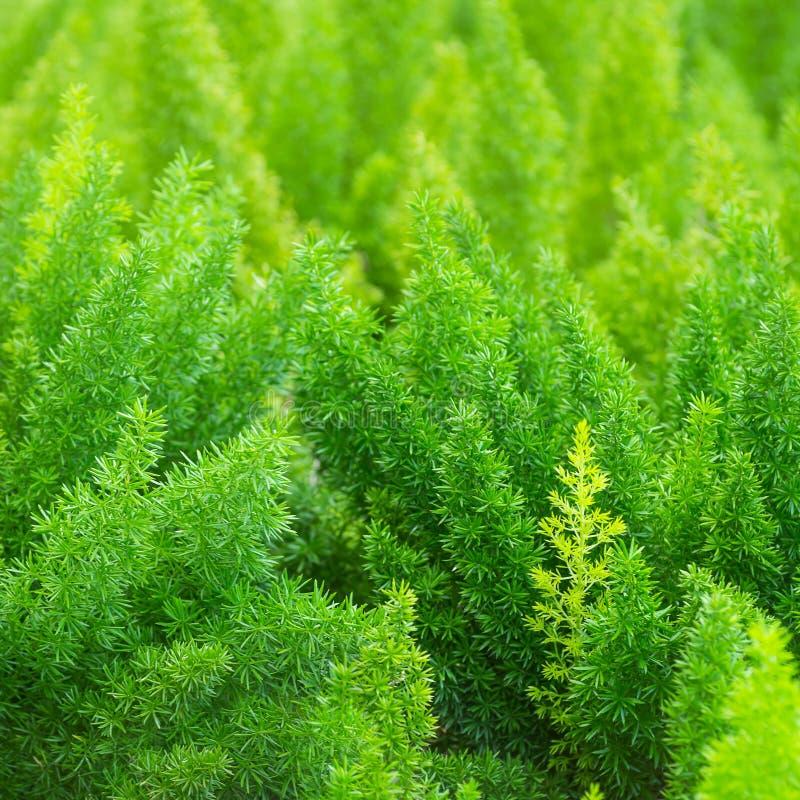 Asparagus fern. Planted a garden ornamental plants stock image