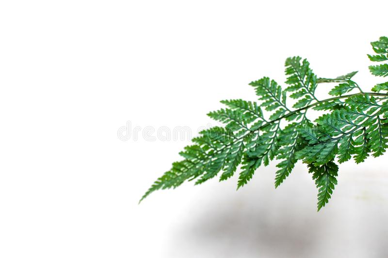 Asparagus ferns leaf on white background. Beautiful Asparagus ferns leaf on white background with empty space for text stock image