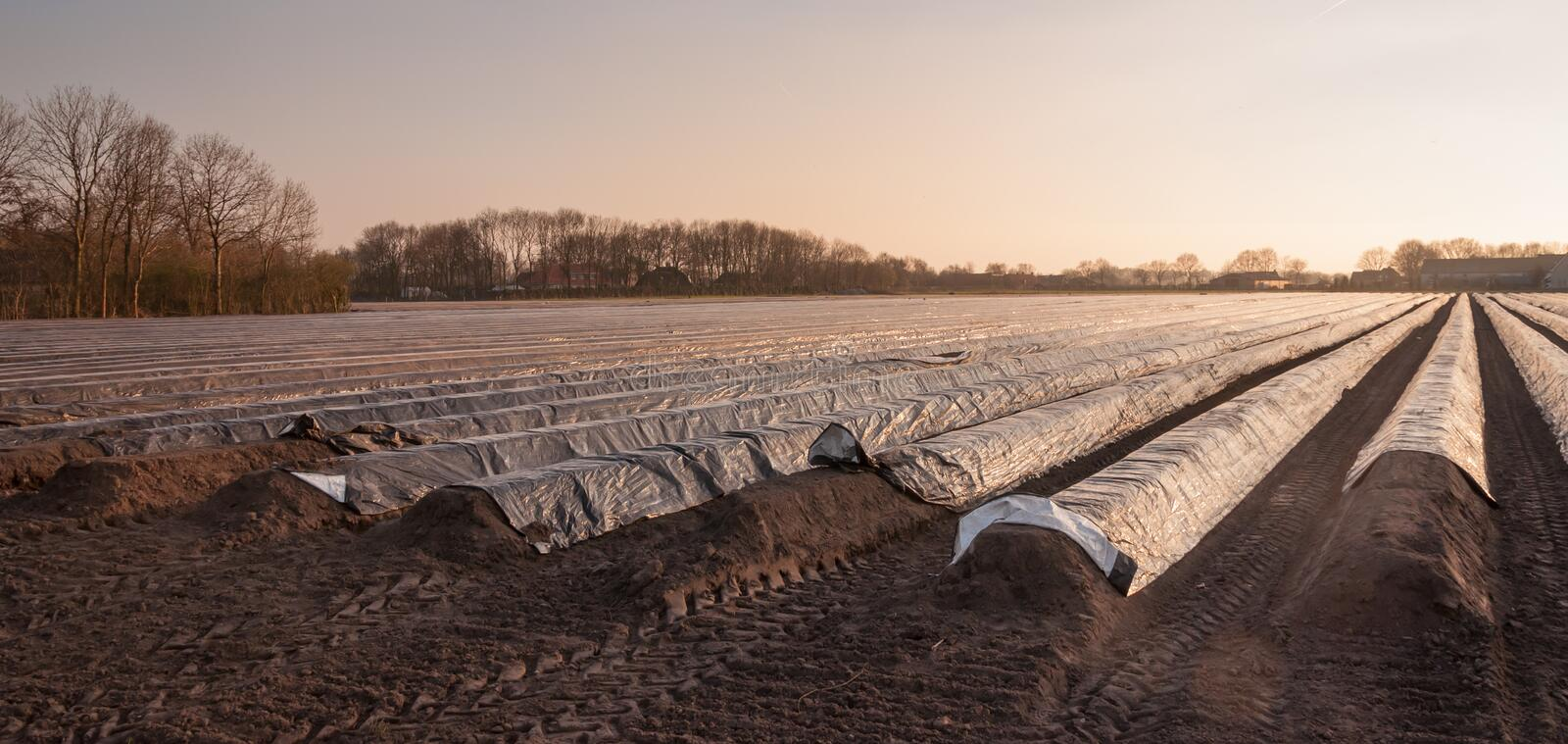 Asparagus field in low afternoon sunlight stock photos