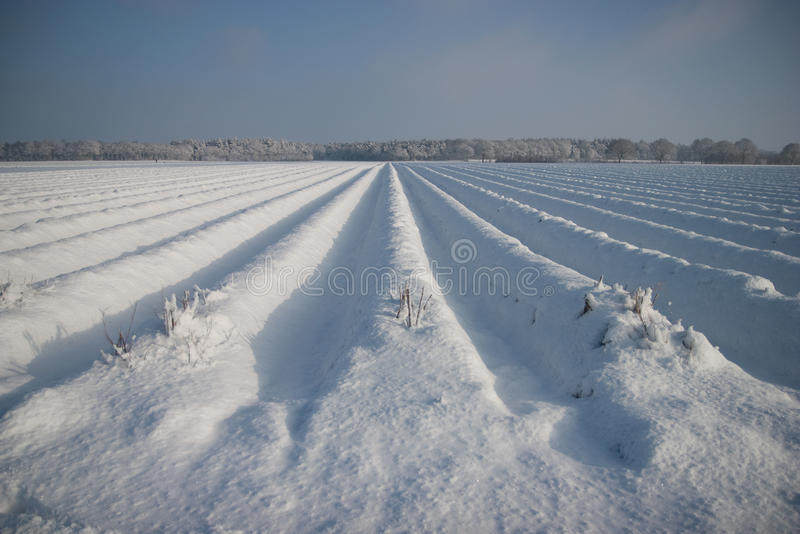 Asparagus field in the snow. Even though the winter has come you can still see the typical rows of sand hills that are created for growing the asparagus stock photography
