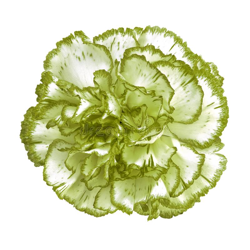 Free Asparagus Green White Carnation Flower Isolated On White Background. Close-up. Royalty Free Stock Photography - 125100077
