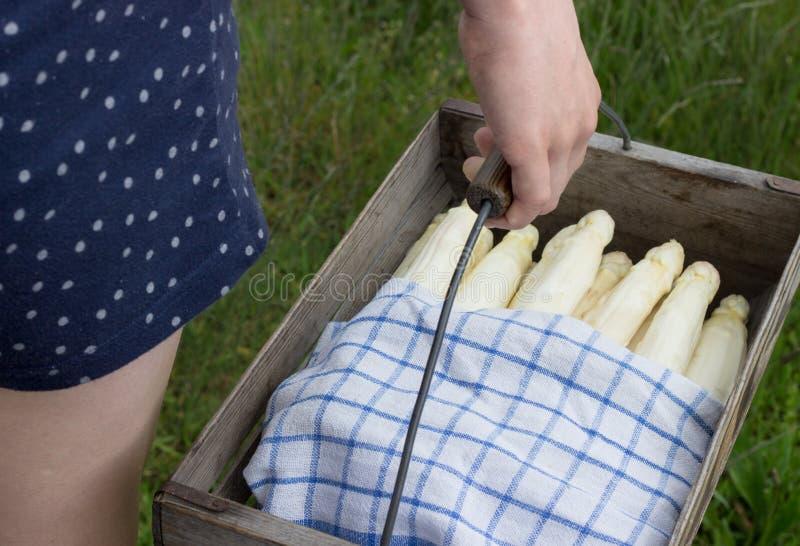 Asparagus harvest stock image