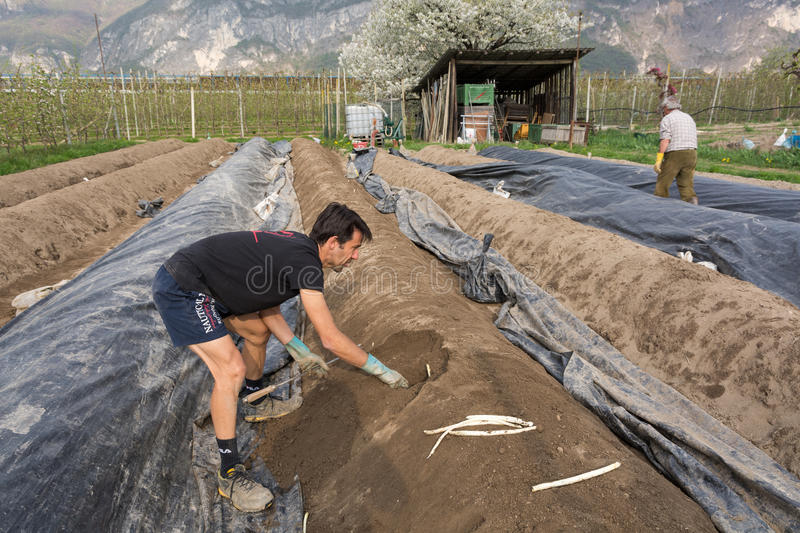 Asparagus harvest in springtime. Young man at harvest of white asparagus.Asparagus harvest in Italy, Zambana, Trentino Alto Adige stock images