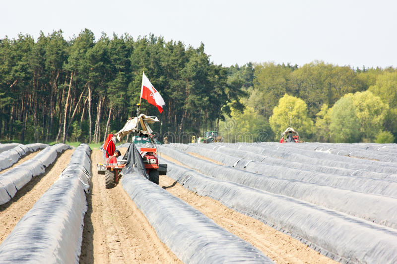 Asparagus. Is harvested with a machine stock images