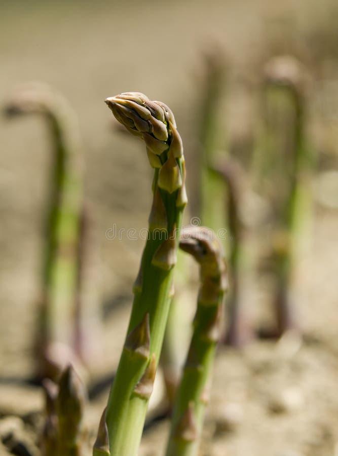Download Asparagus.JH fotografering för bildbyråer. Bild av smuts - 37347431