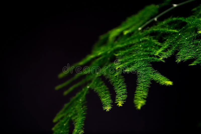 Asparagus plumosus with brightly rich green leaves on a dark background. Long, shallow leaves. A traditional hanging basket plan. Asparagus plumosus with royalty free stock photos