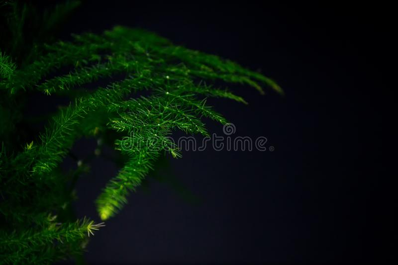 Asparagus plumosus with brightly rich green leaves on a dark background. Long, shallow leaves. A traditional hanging basket plan royalty free stock images