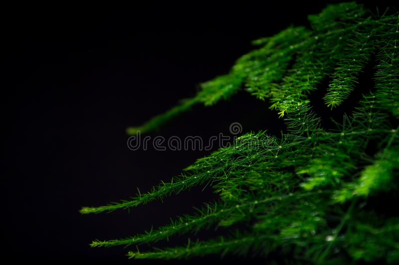 Asparagus plumosus with brightly rich green leaves on a dark background. Long, shallow leaves. A traditional hanging basket plan stock images