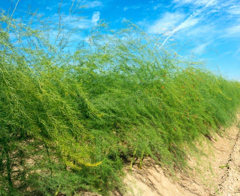 Asparagusa pole zdjęcie royalty free